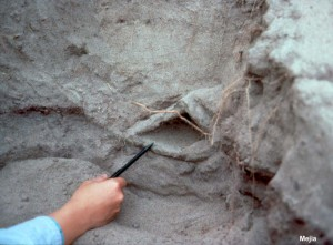Test pits on the south side of the Marine Laboratory exposed several features associated with soil boils. This cavity was formed by the upward flow or boiling of water from liquefied soils deeper in the ground. Finer grained soils lined the cavity walls and kept it intact after the boiling had ended.